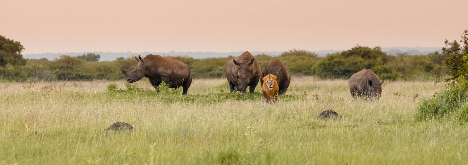 A male lion and a crash of rhino seen at Phinda and photographed by Marco Franchini