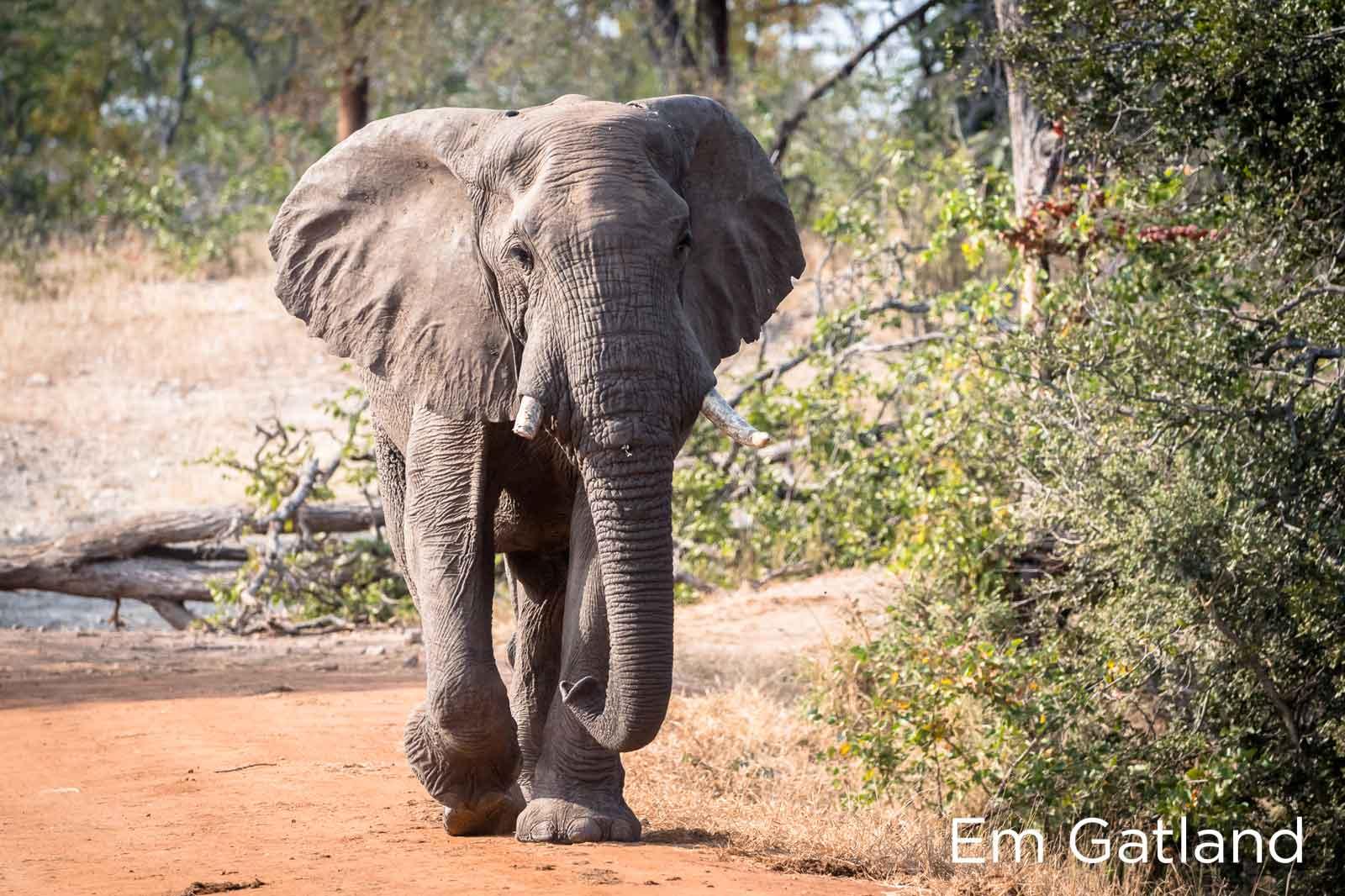 Elephants in Search of Mopane