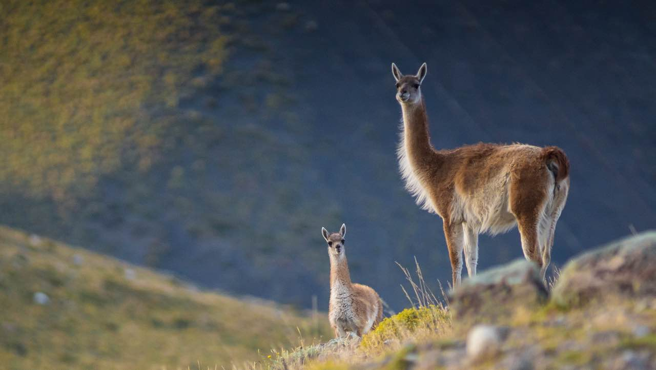 Guanaco - the pumas choice prey species in Patagonia