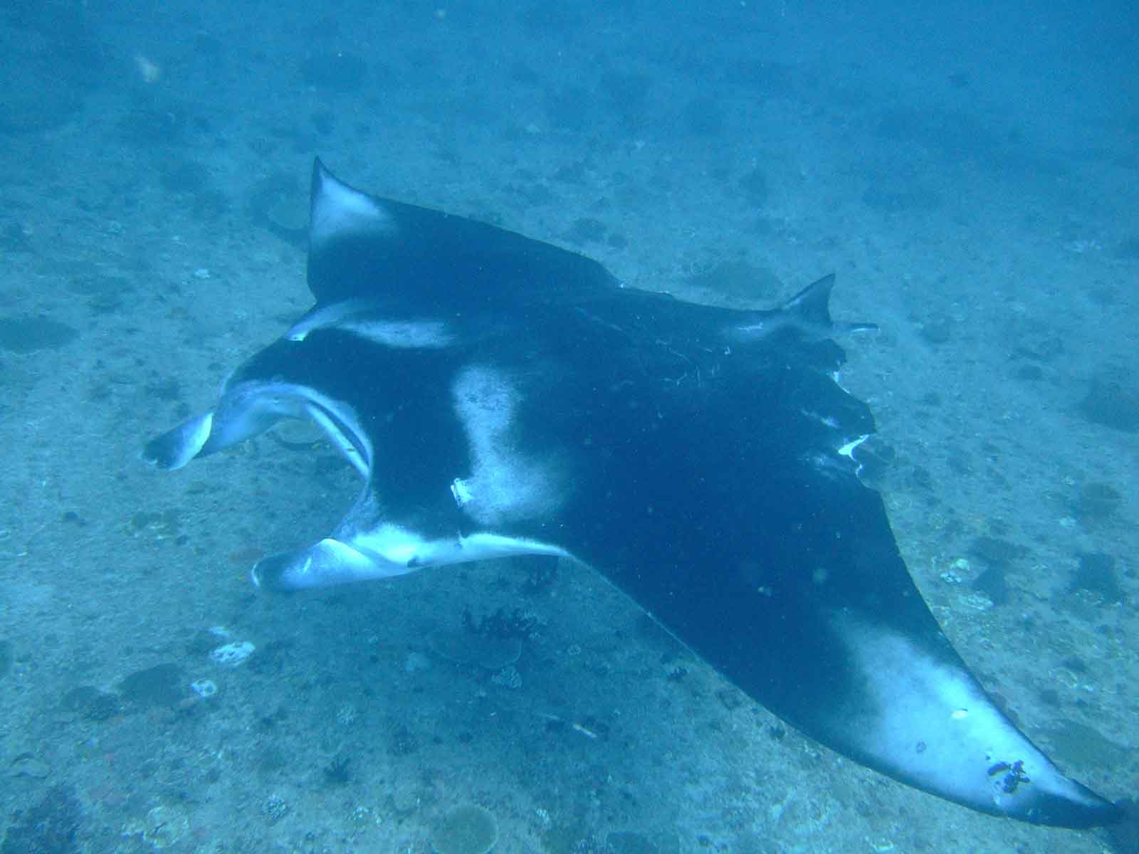 Manta Ray in Mozambique