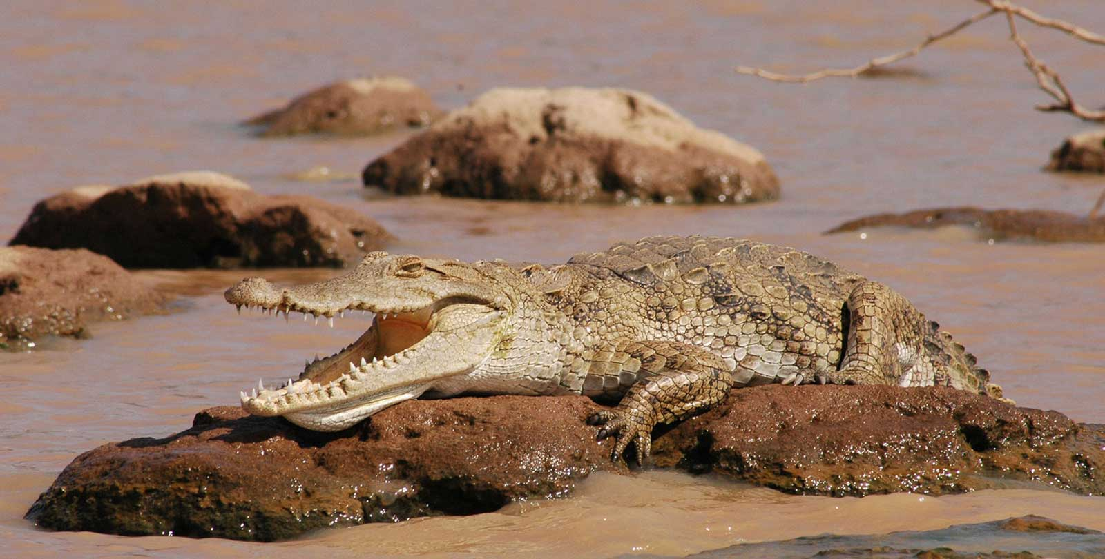 Crocodiles on Safari