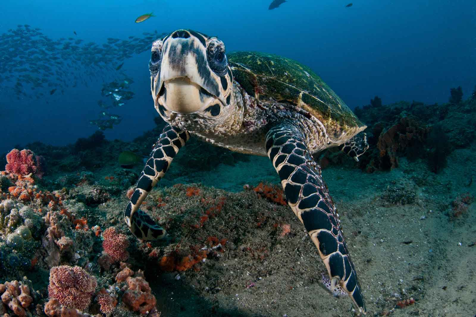 Hawksback Turtle Mozambique