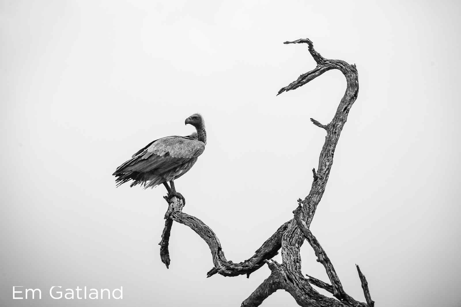 Vultures Em Gatland