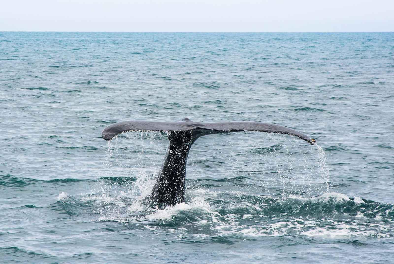 Humpback Whale Mozambique