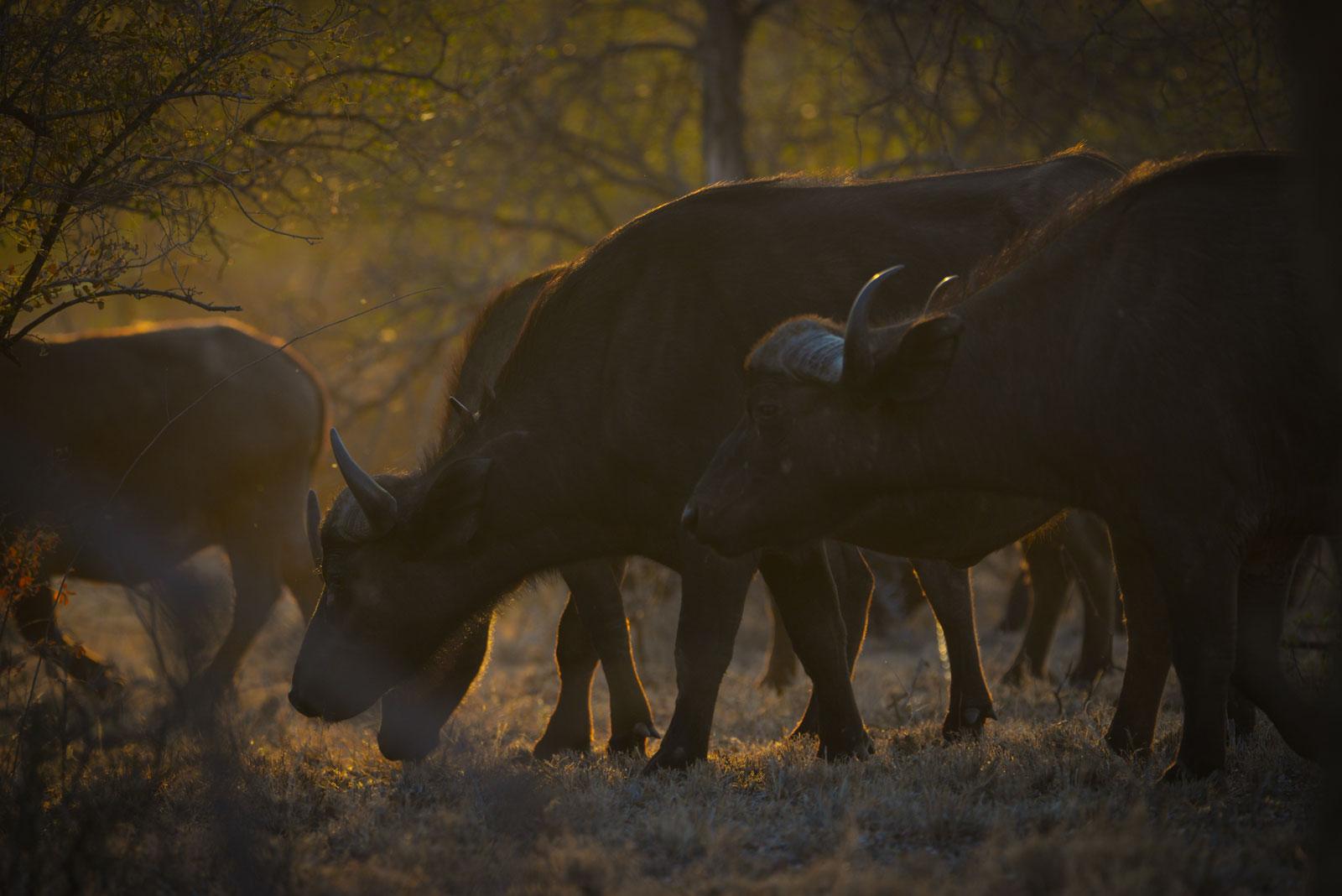 Big Five On Safari - Buffalo