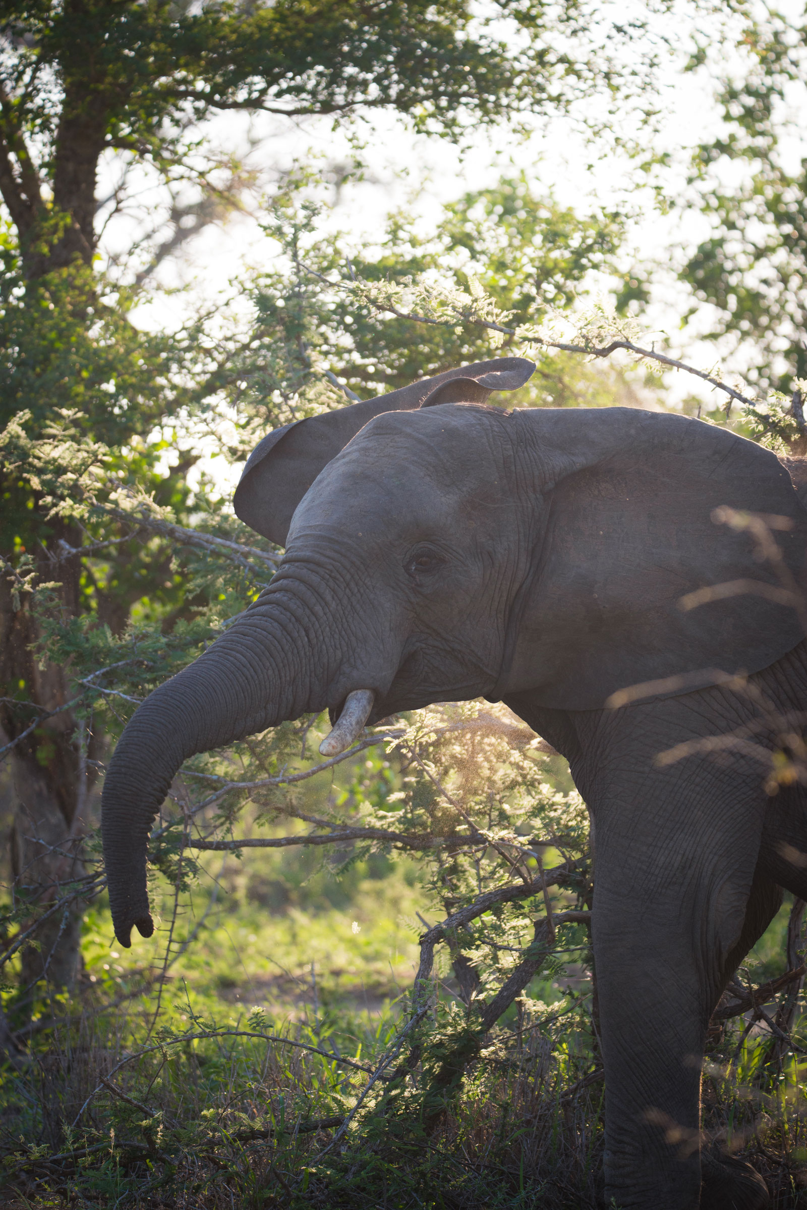 Big Five On Safari Elephant