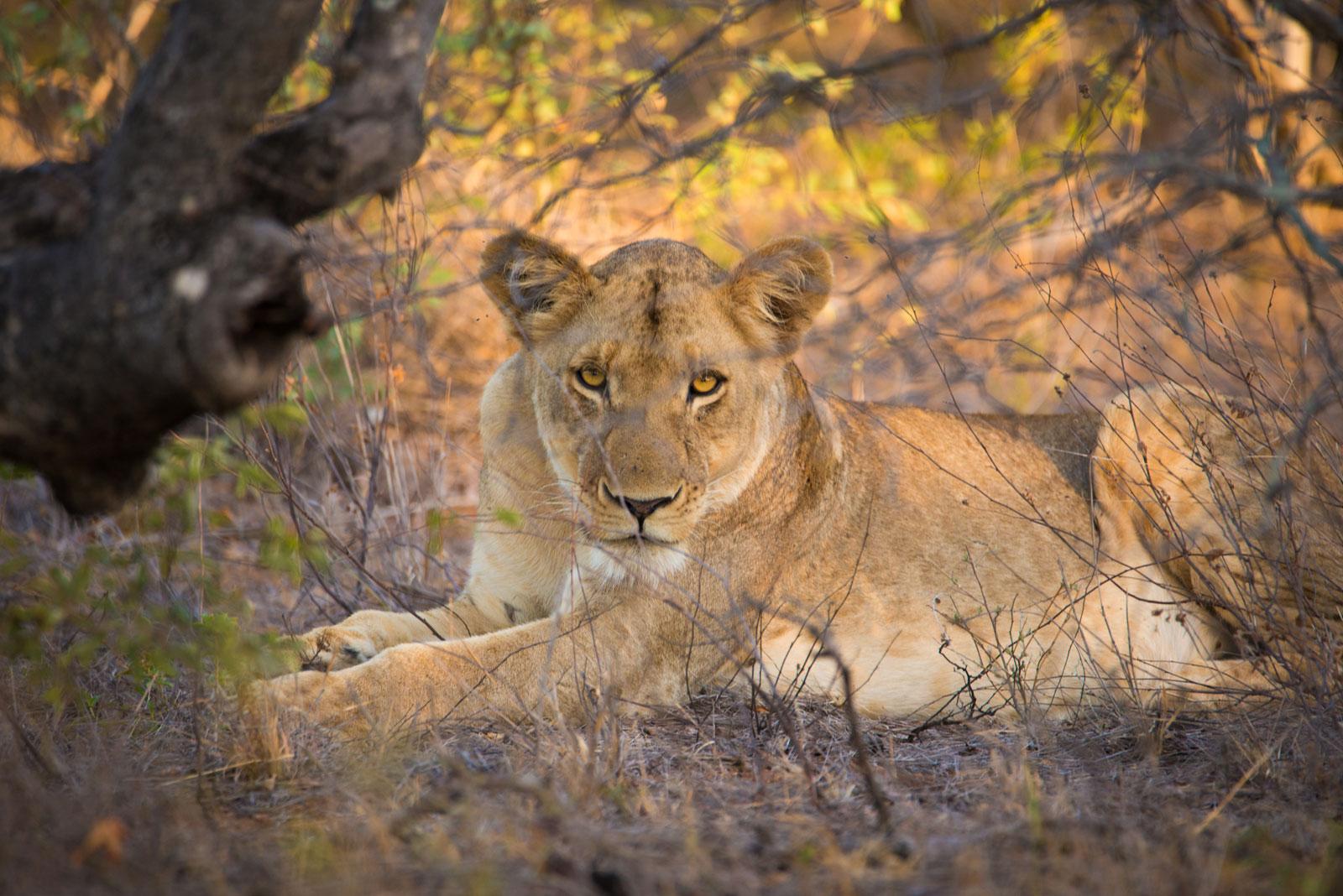 Big Five On Safari - Lion