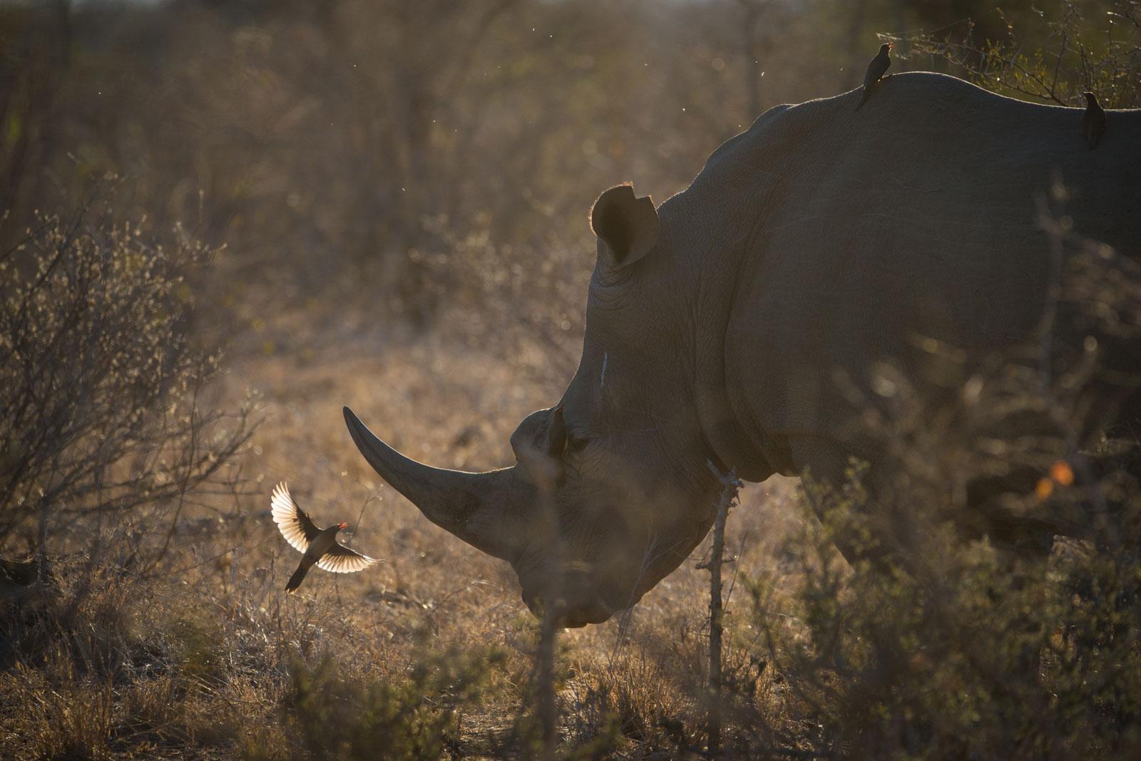 Big Five On Safari Rhino