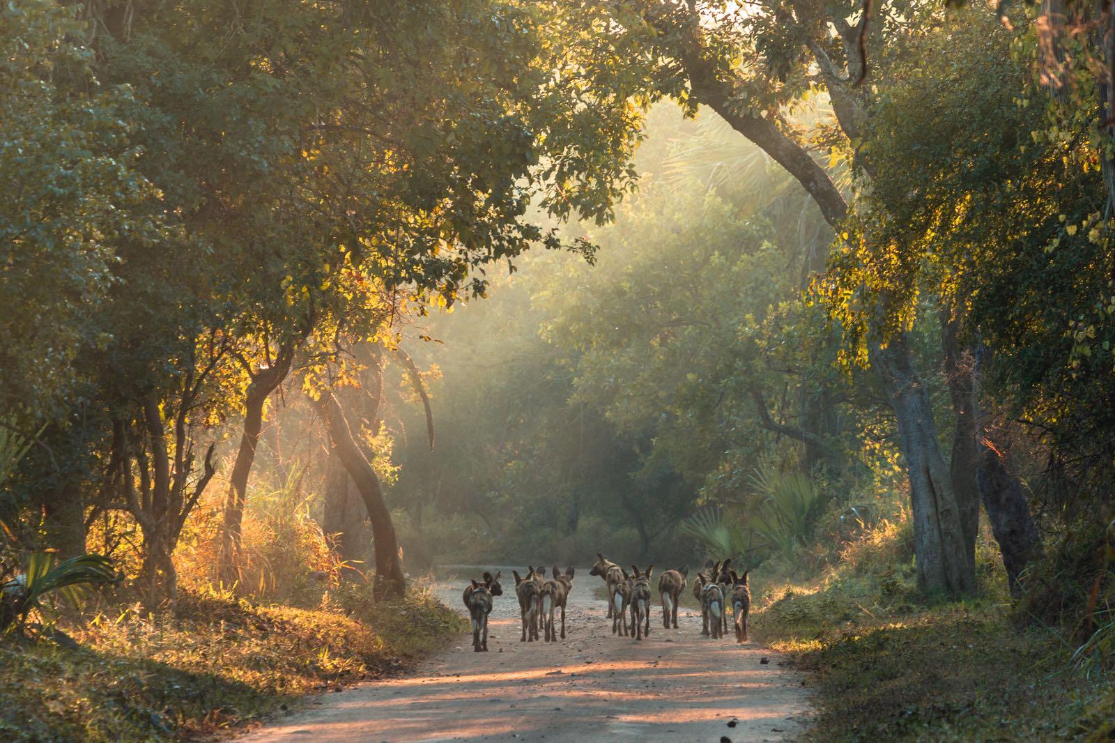 Brett Kuxhausen wild dogs Gorongosa NP