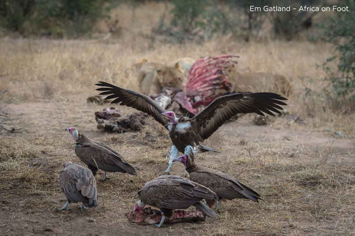 Hooded Vulture at Carcass
