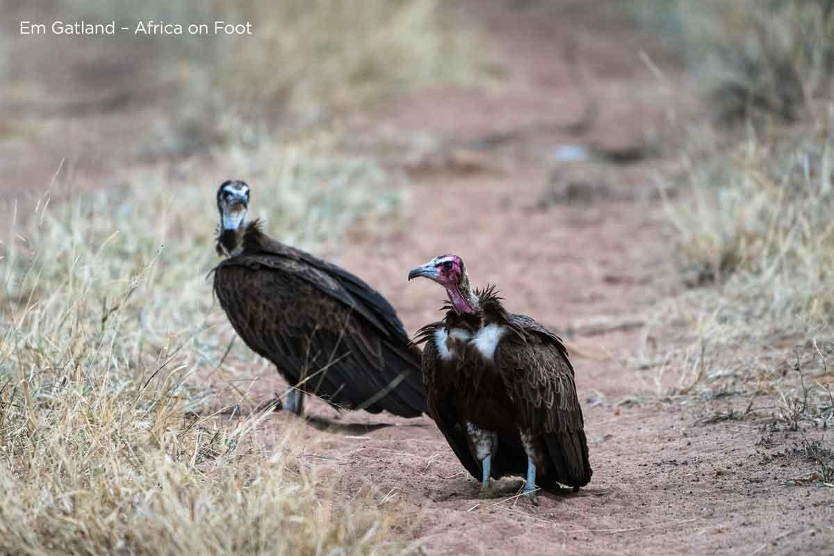 Hooded Vulture in Kruger