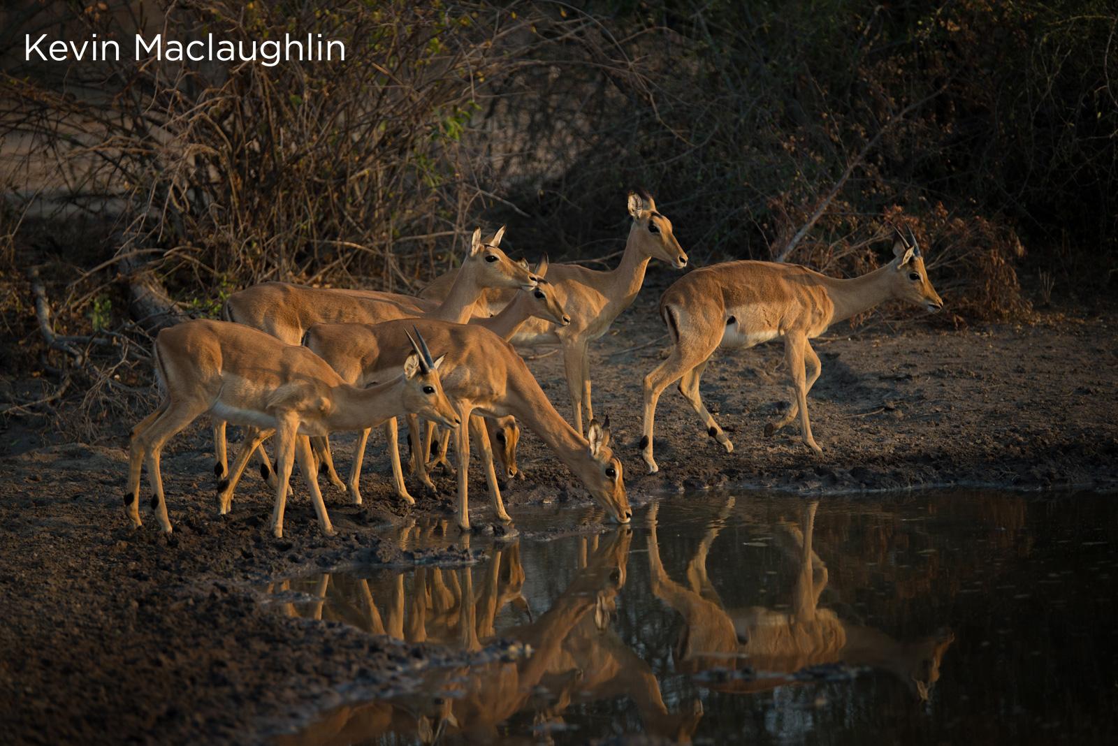 Buck at watering hole - Kevin Maclaughlin