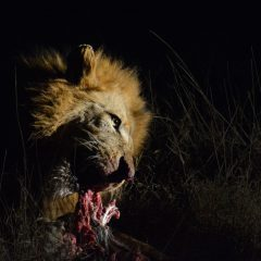 Lions and Hyenas : The Ultimate Frenemies