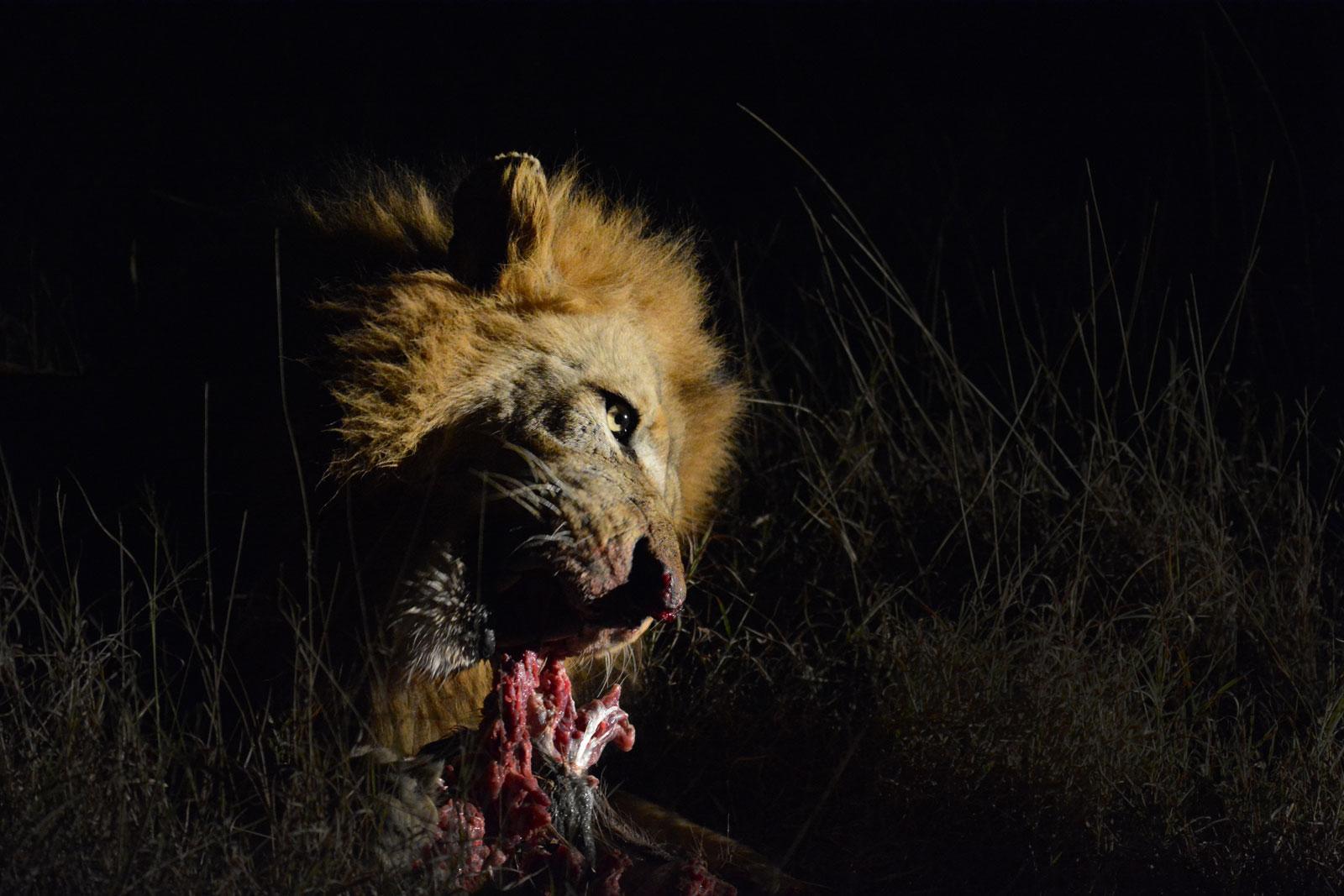 Lion on Kill - Kevin MacLaughlin