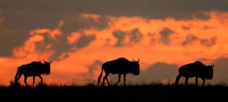 Meru Wildebeest at Sunset