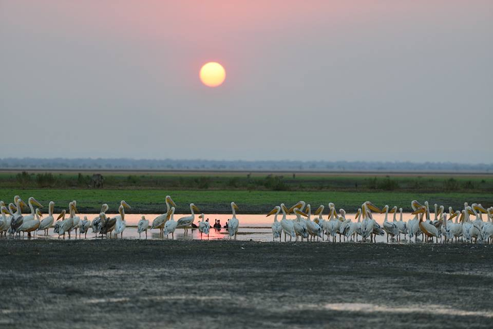 Pelicans and sunset Royal Gorongosa