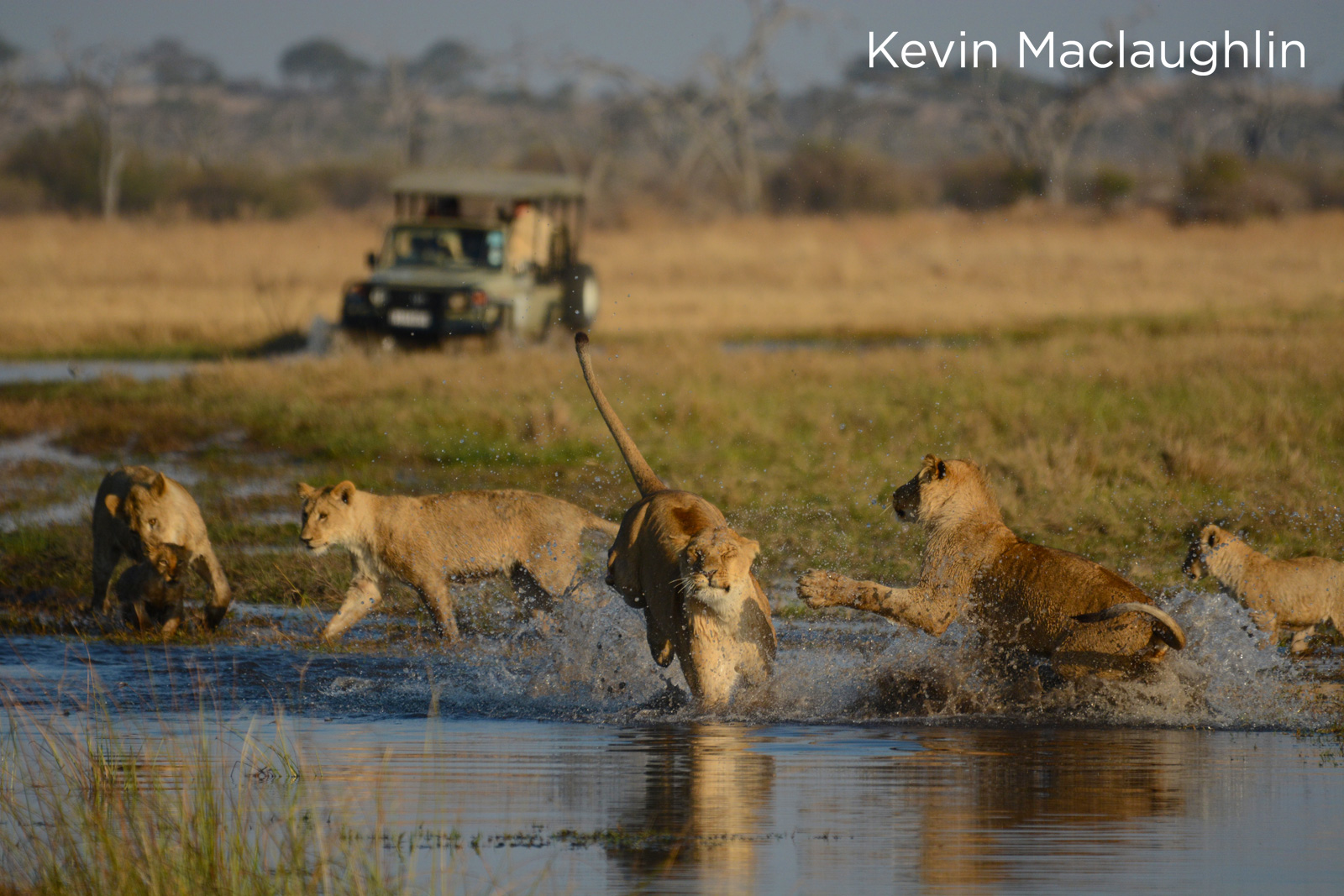 Lions in the Moremi