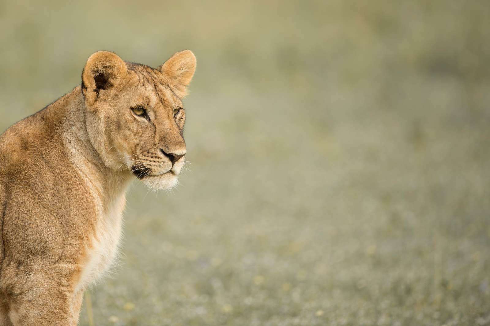 A lioness in Grumeti Reserve, part of the Serengeti-Mara ecosystem