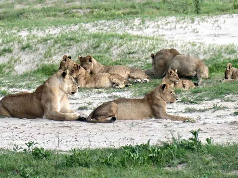 Botswana Lion Prides