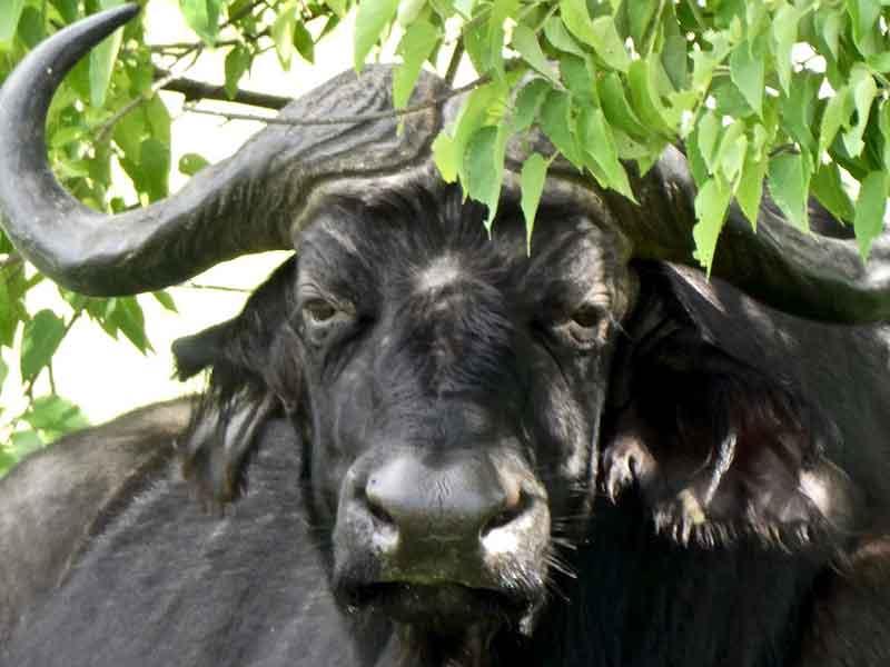 Buffalo Botswana