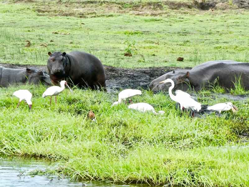 Hippos Egrets