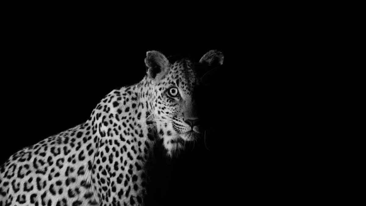 LeopardKevinMacLaughlin