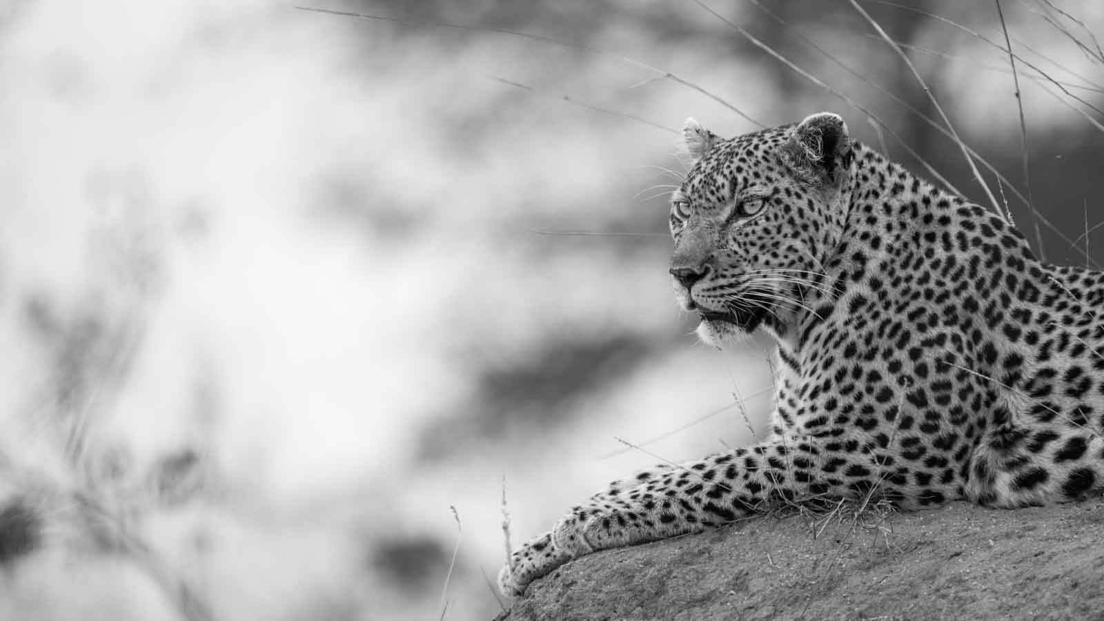 Black and White Images of Big Cats and Wild Dogs, Black and White Images of Big Cats and Wild Dogs