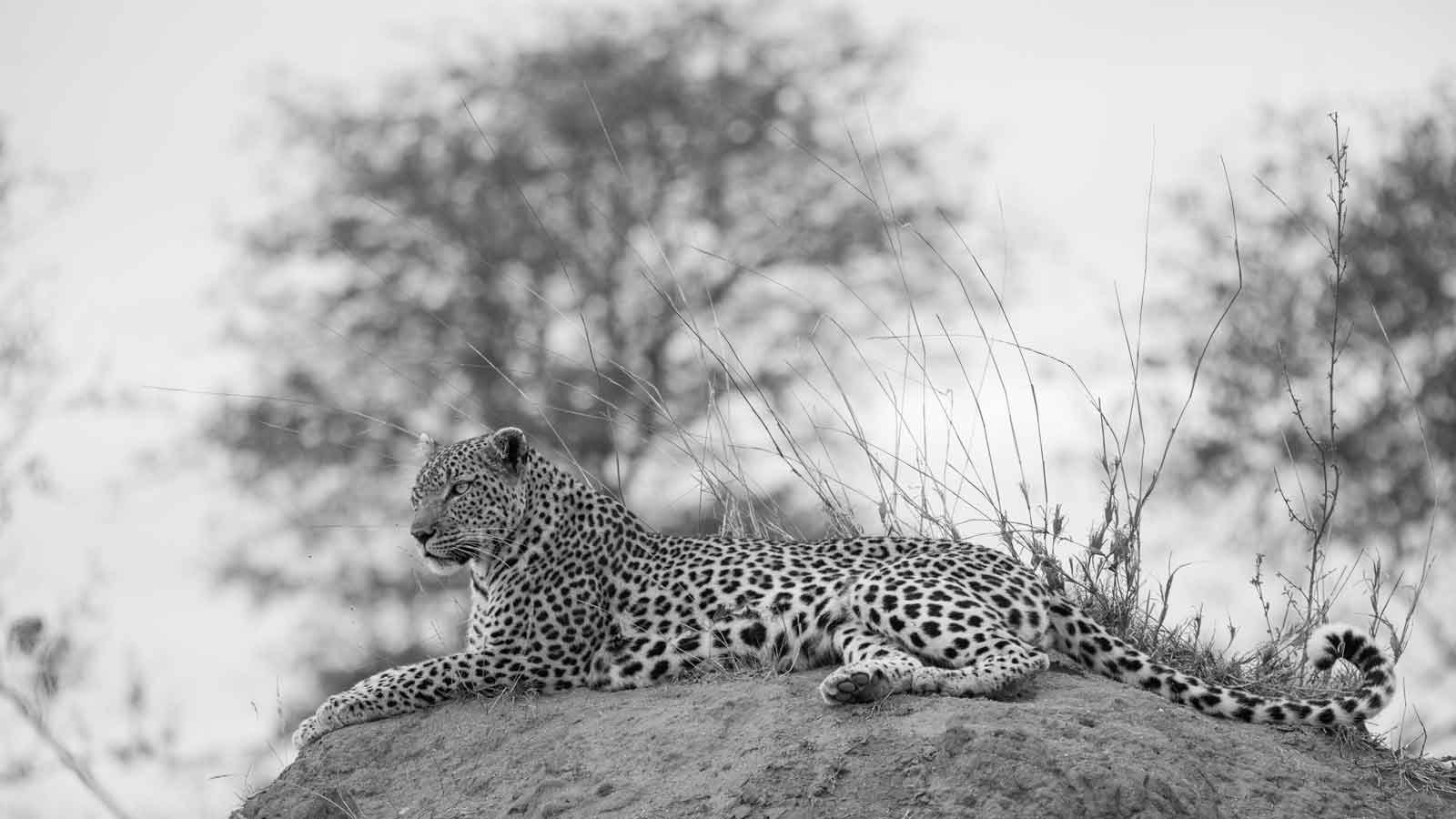 Leopard on Termite Mound -Kevin Maclaughlin