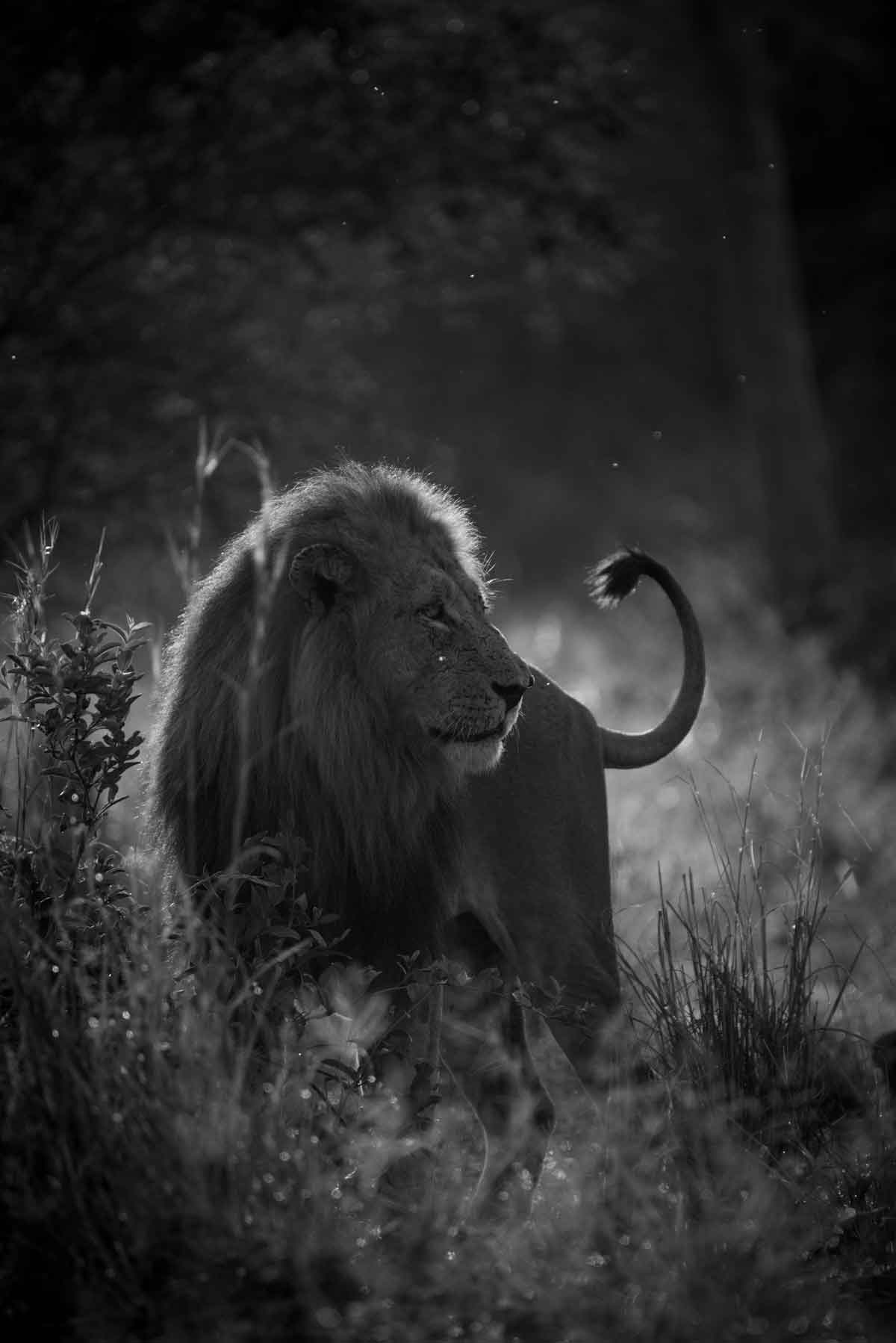 Lion Male - Kevin MacLaughlin