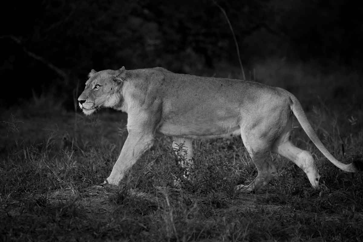 Lioness Kevin MacLaughlin