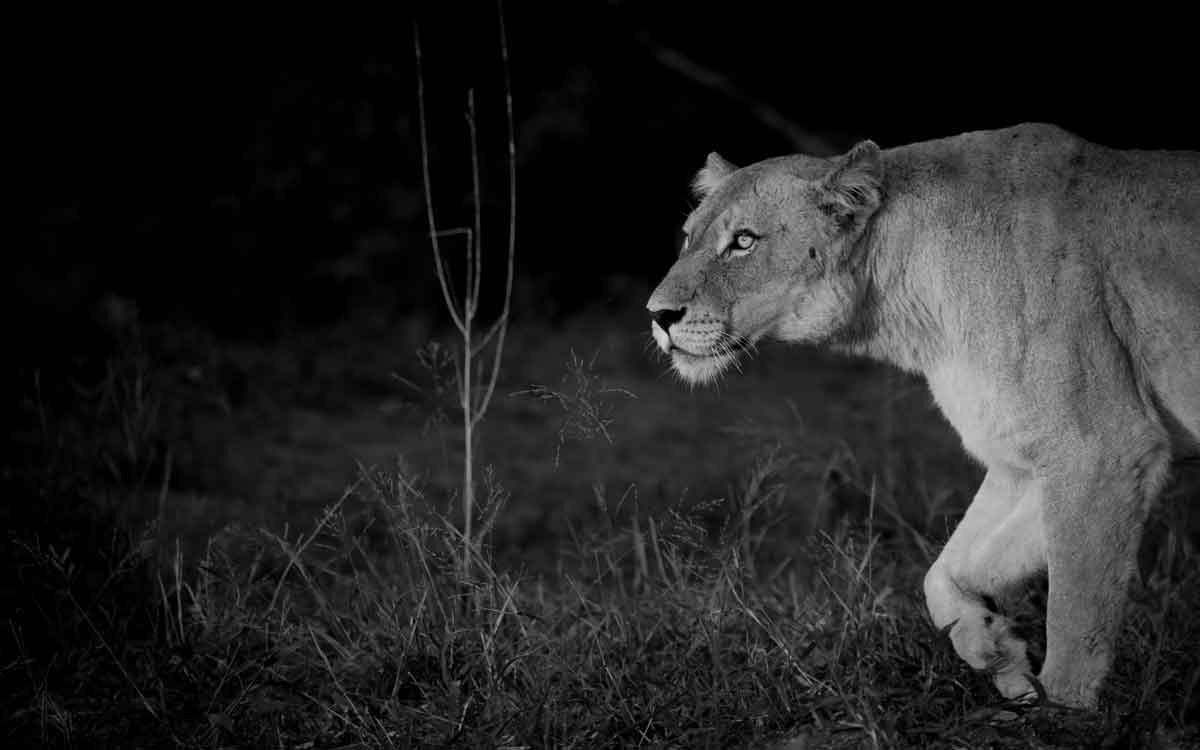 Lioness in the Darkness