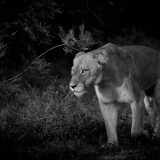 Learn About Lions Before Going on Safari