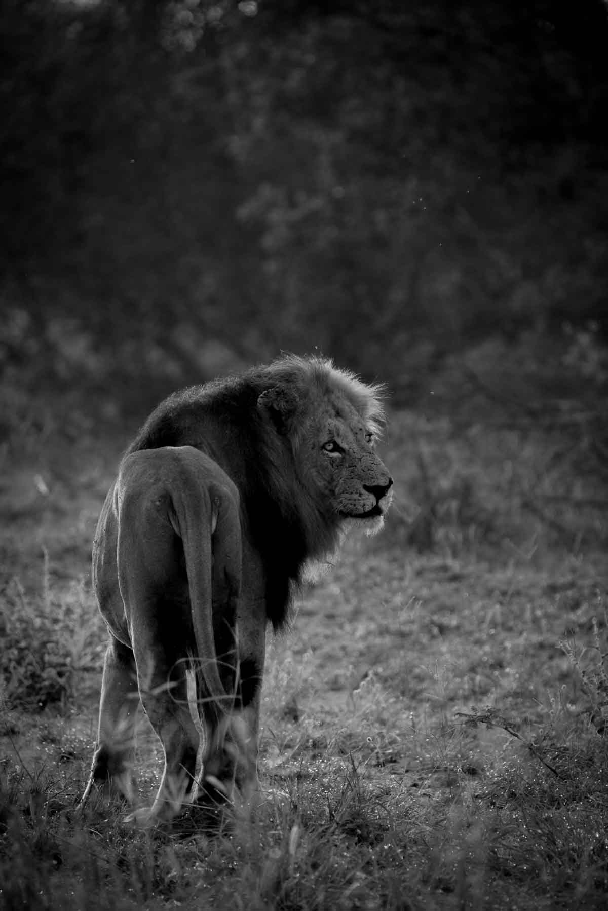 Male Lion in the Wild - Kevin MacLaughlin