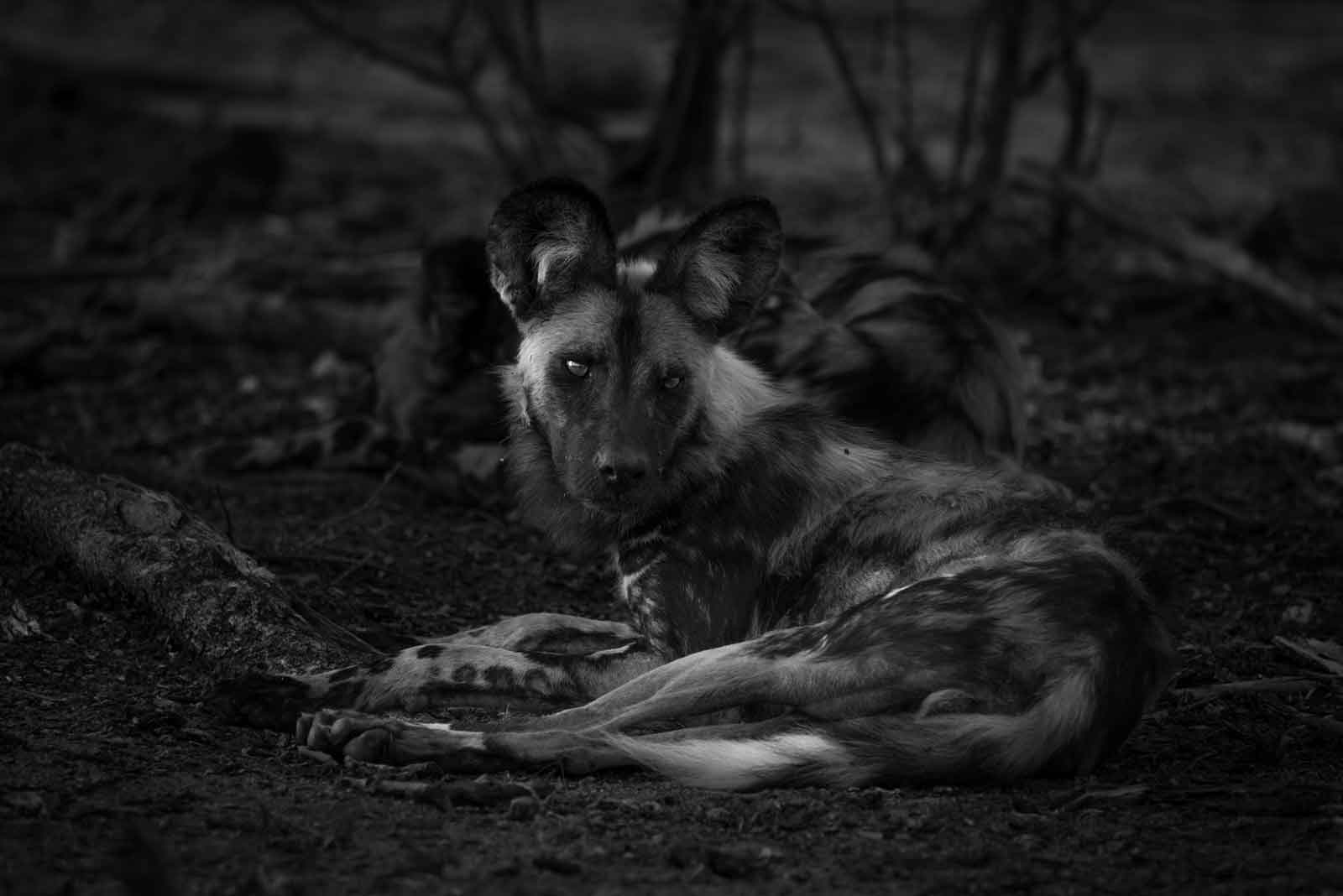 Wild Dogs - Kevin MacLaughlin