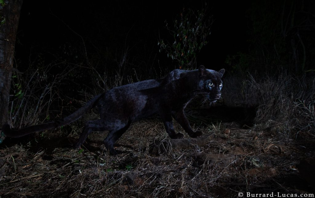 Black leopard, The real Black Panther of Africa spotted in Kenya!
