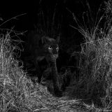 The real Black Panther of Africa spotted in Kenya!