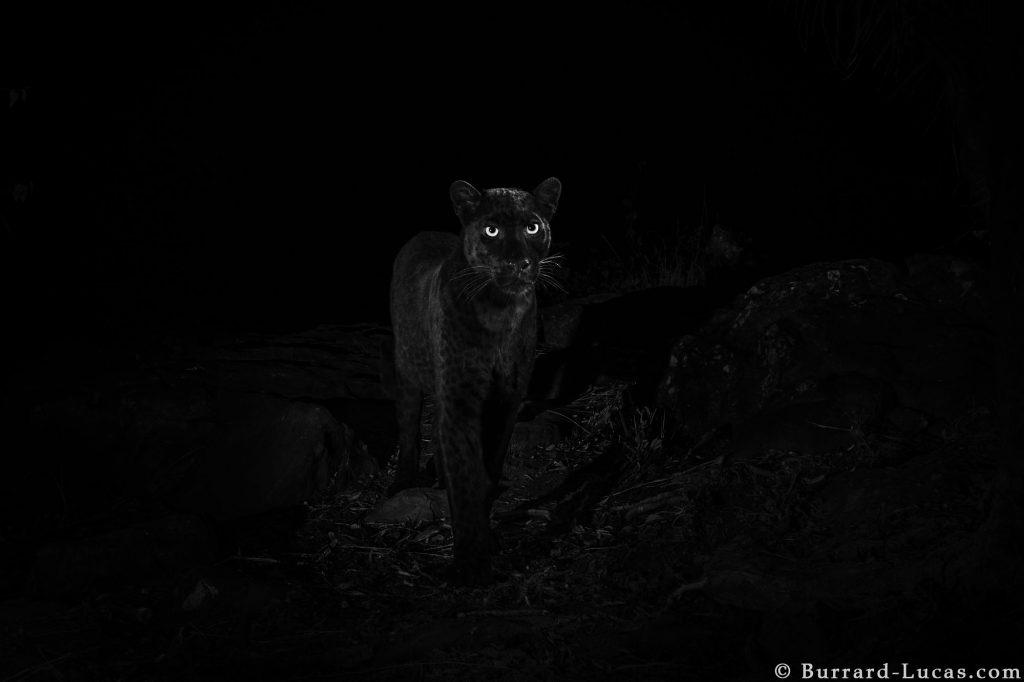Black leopard Laikipia Wilderness Camp Kenya Will Burrard-Lucas