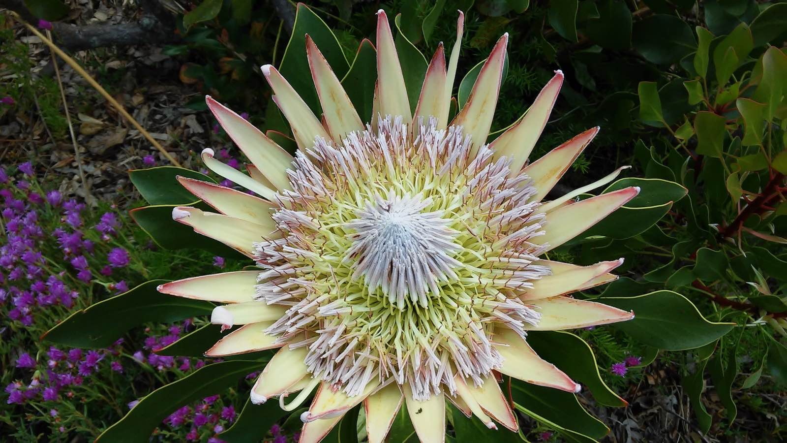 A king protea - South Africa's national flower