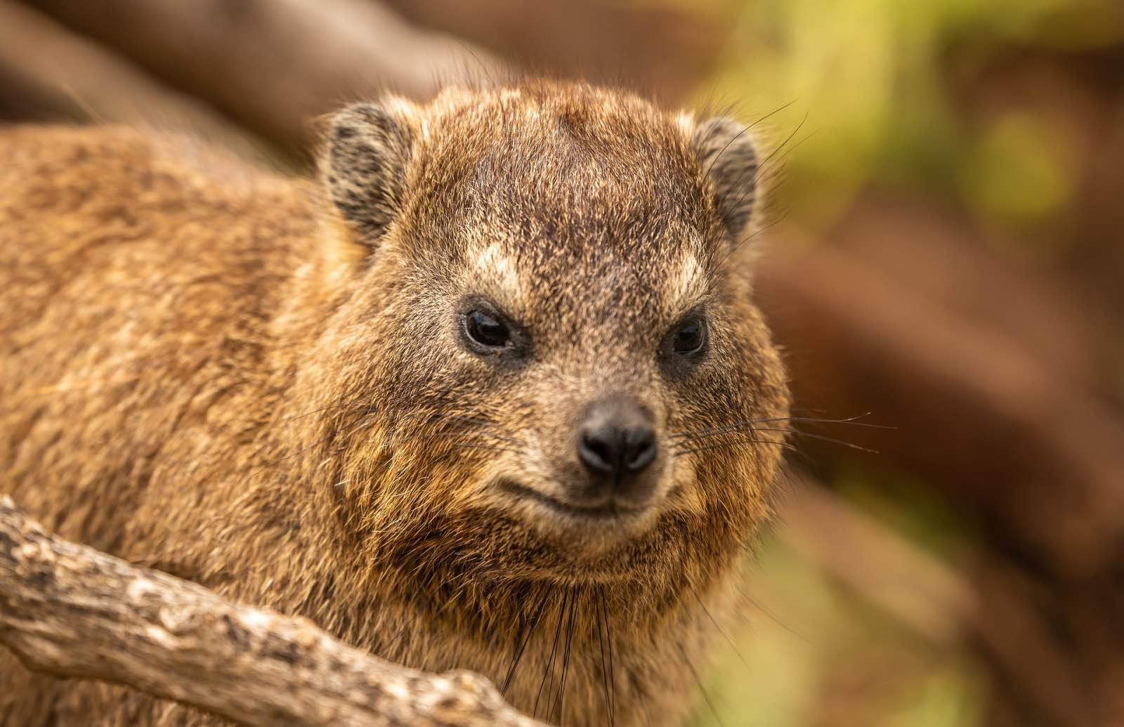 A rock hyrax, common species in Cape nature reserves and relative of the elephant