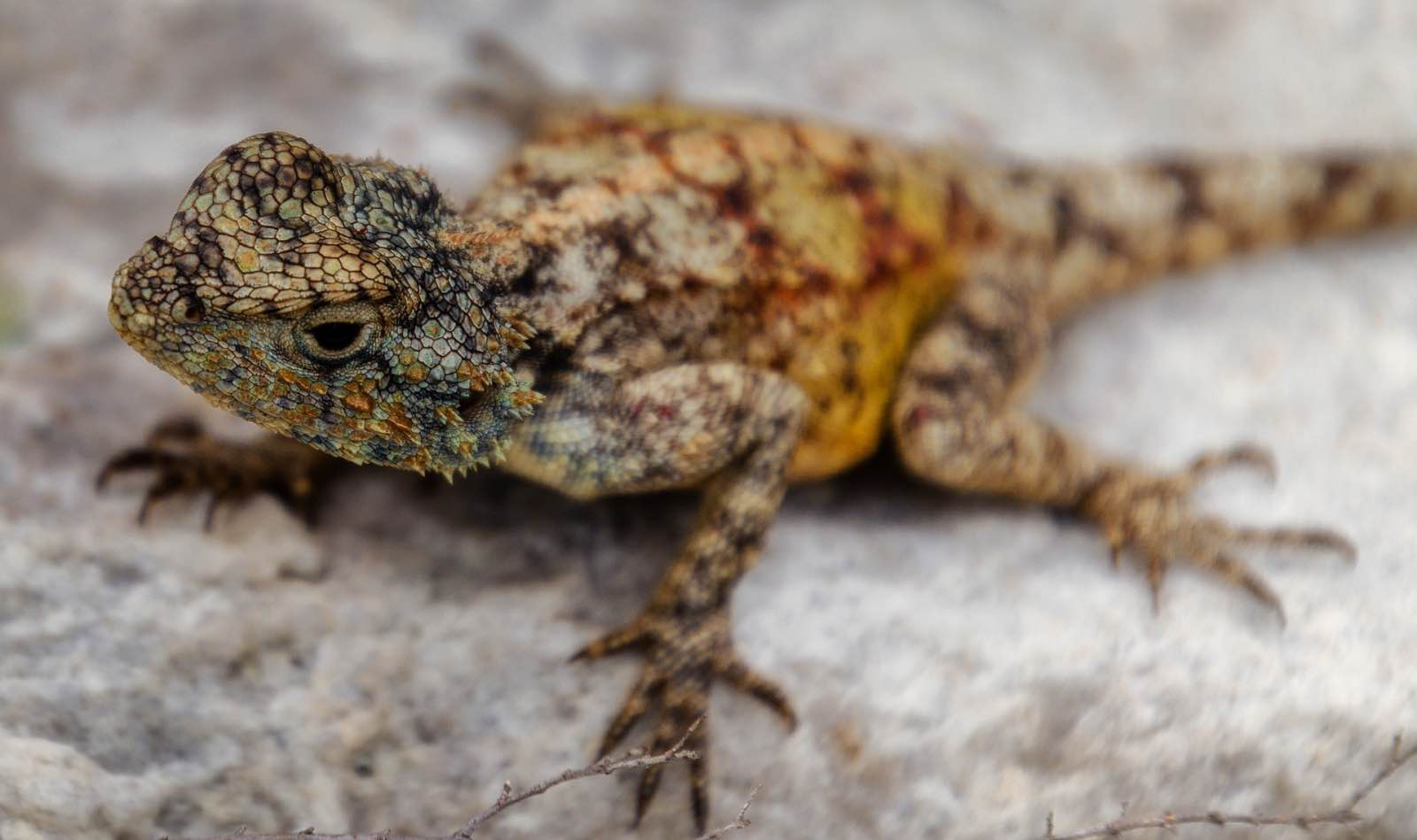 An agama poised on a rock - details of the Cape's diverse nature