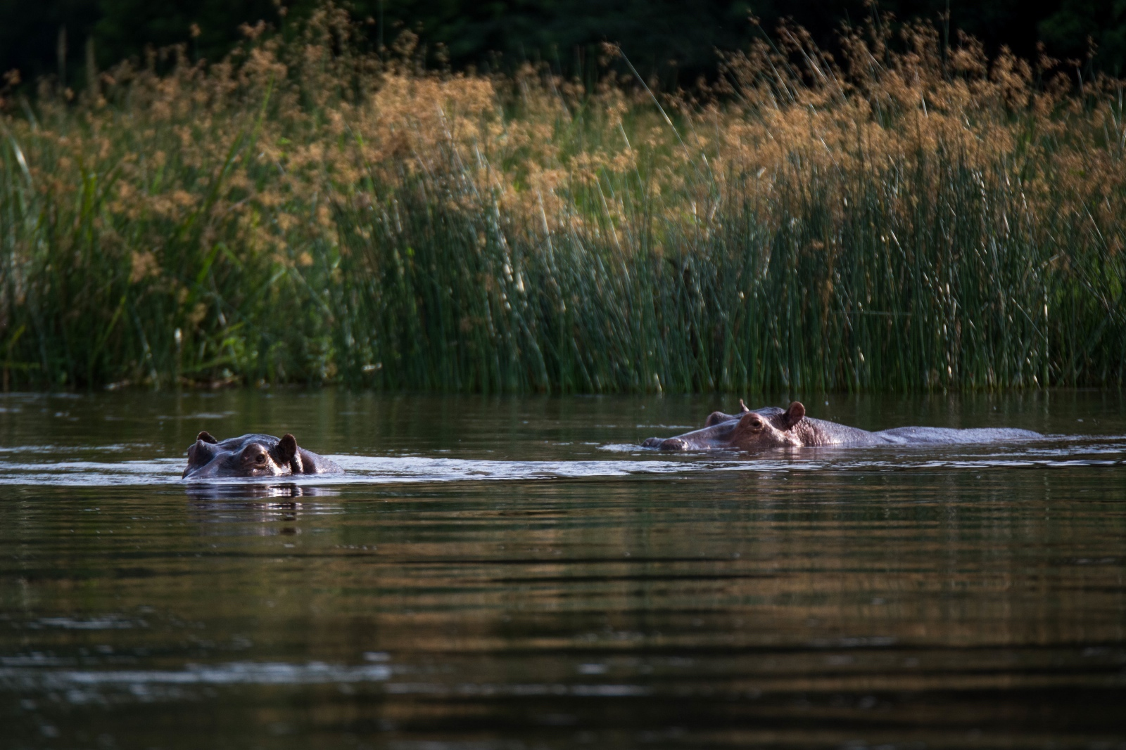 Hippos appear and disappear occasionally adding to the thrill of a Zambezi canoeing experience.