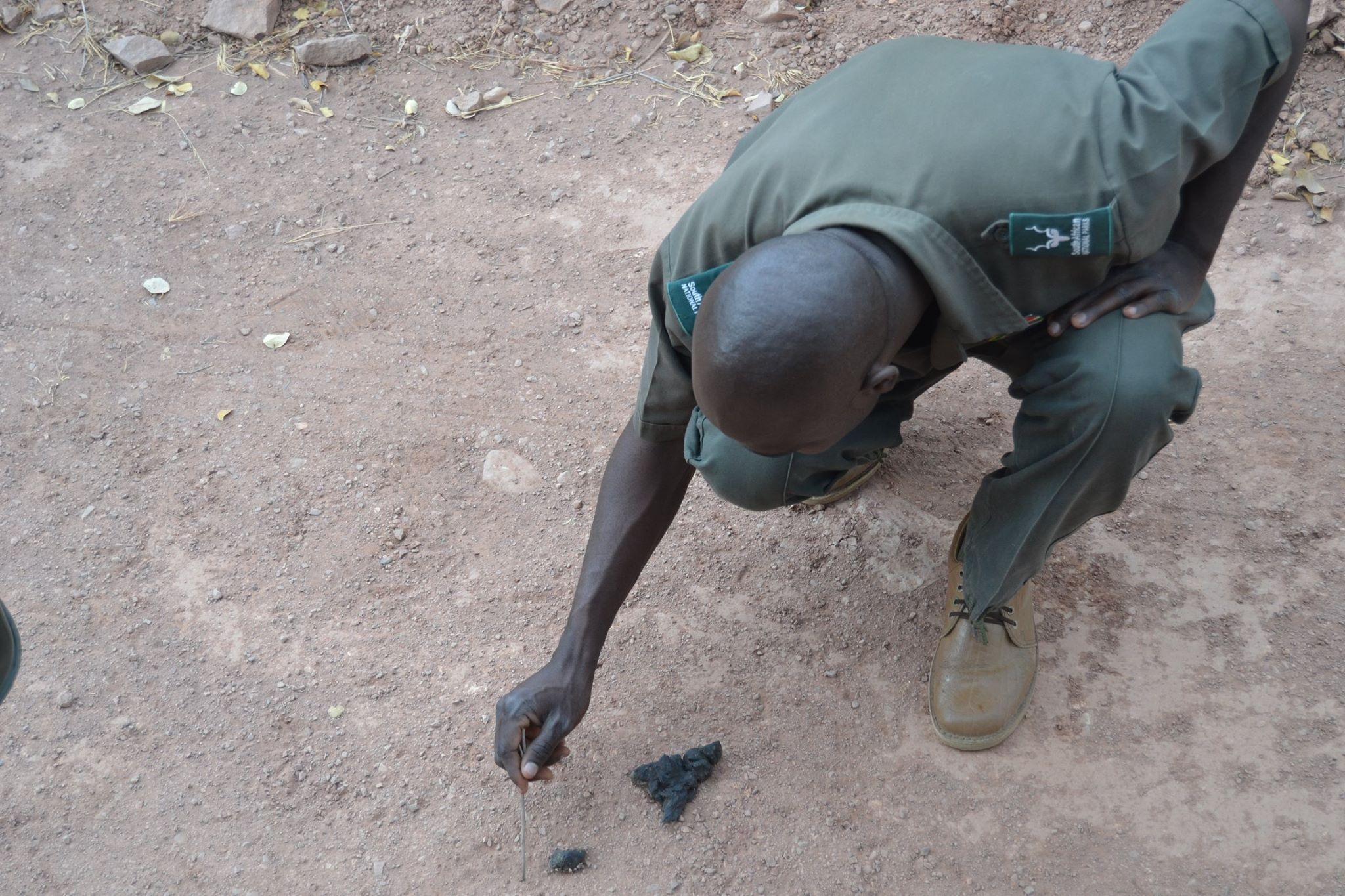 Identifying scat on a Kruger National Parks walking trail