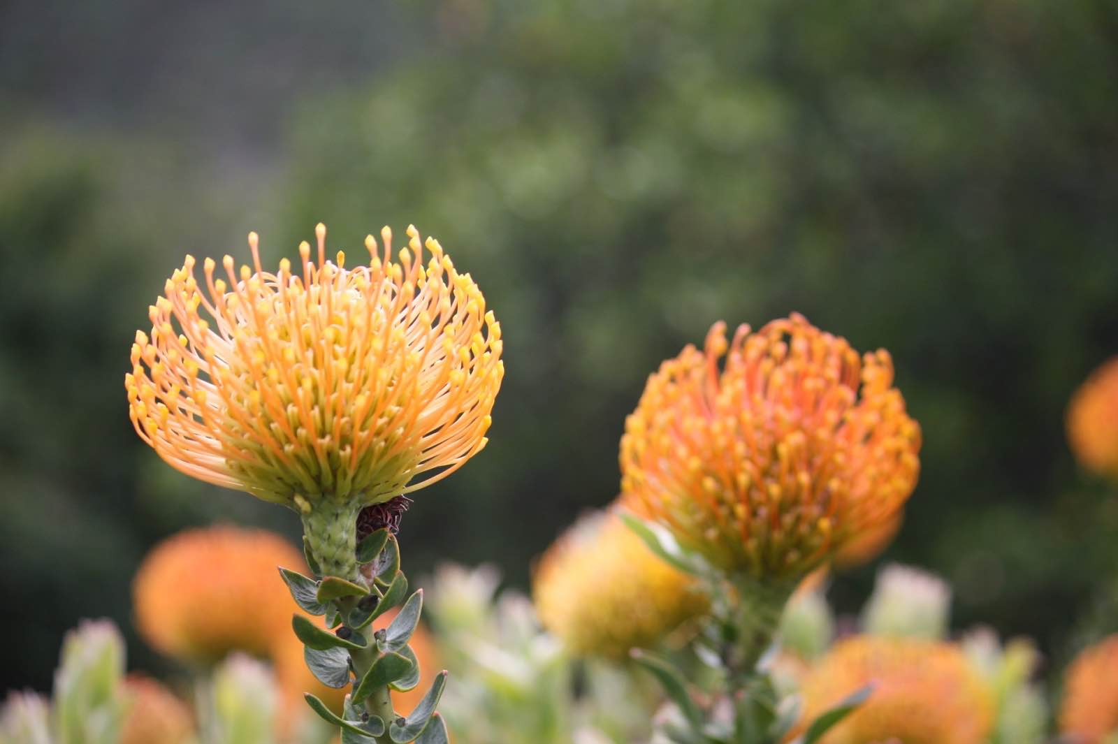 Pin cushions, part of the Cape fynbos kingdom
