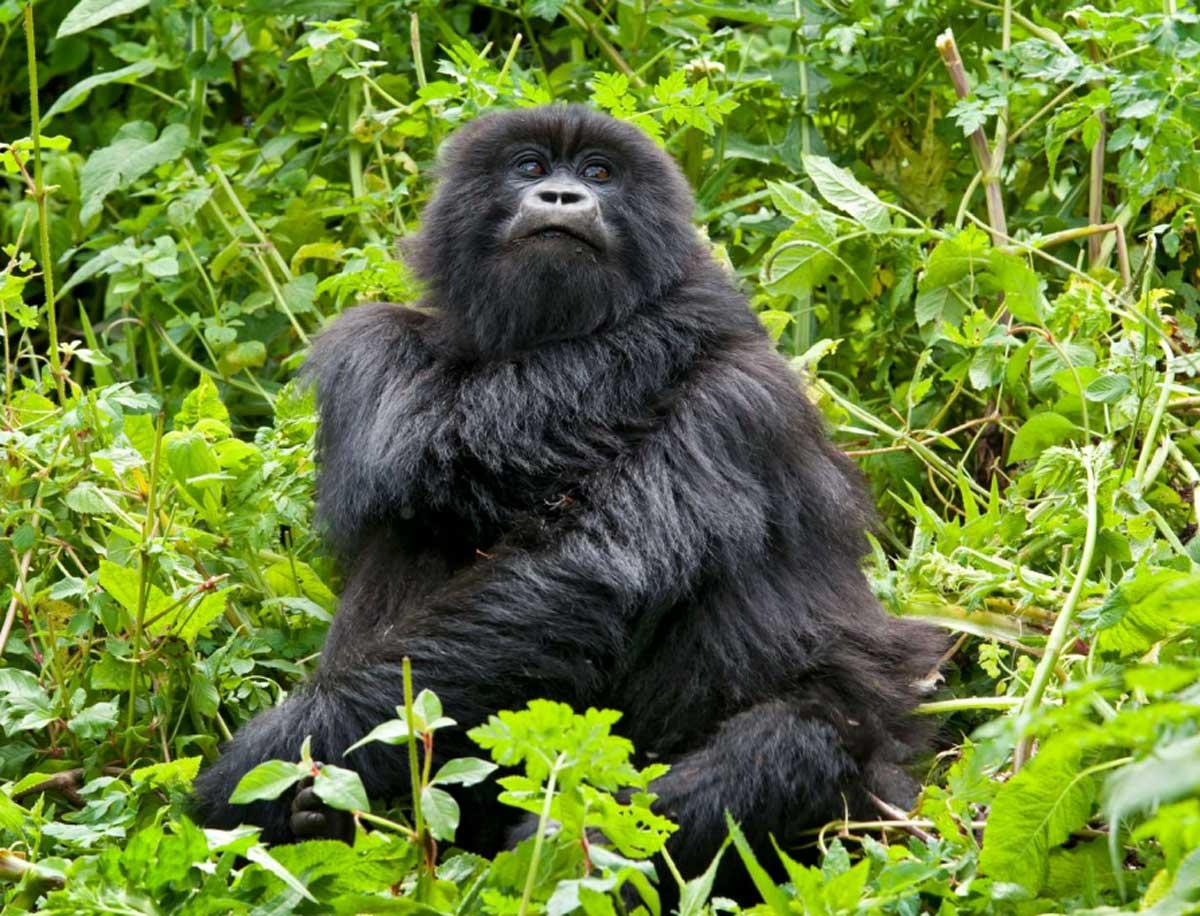 Rwanda Gorilla Trekking Singita
