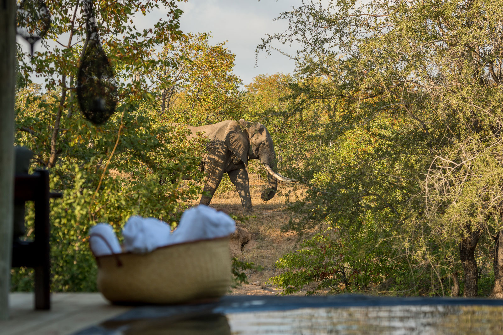 Elephant Walks Past Pool at Nsala