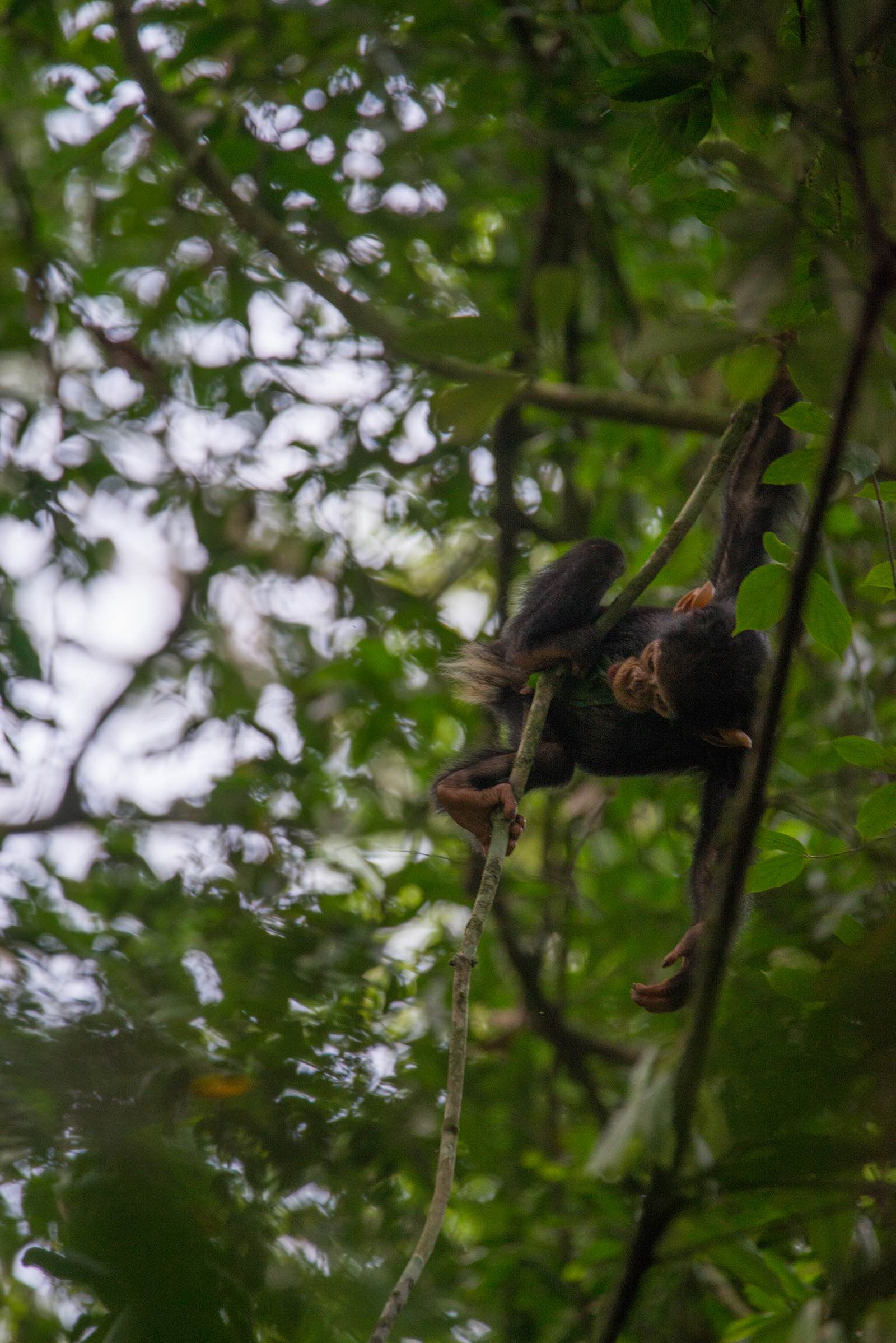 A baby chimpanzee swings through the trees in Kibale Forest