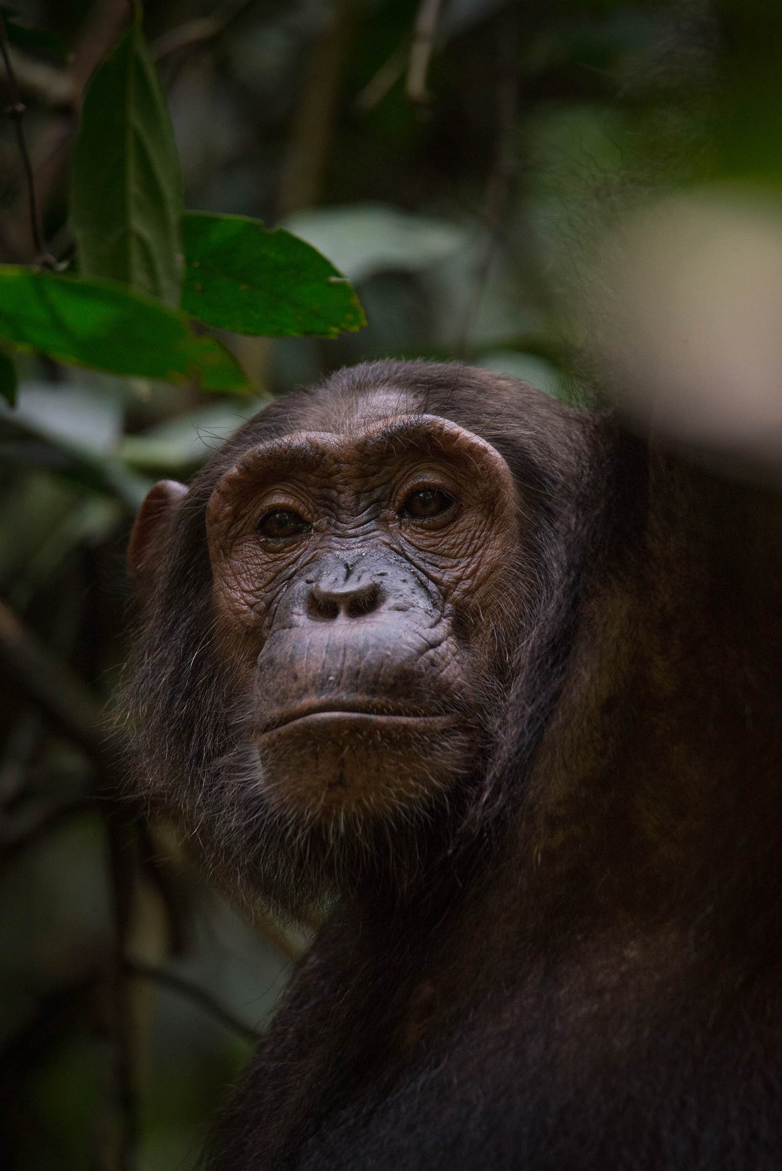 A female chimpanzee gazes down at us
