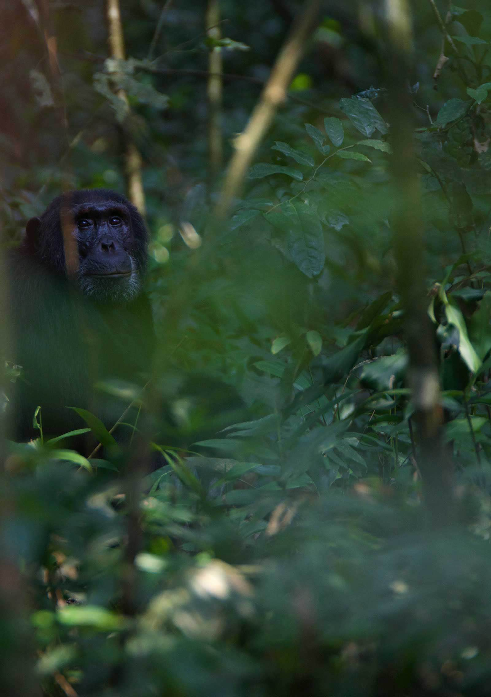 A flourishing forest environment is ideal for the chimpanzees, which is why these habitats need to be protected