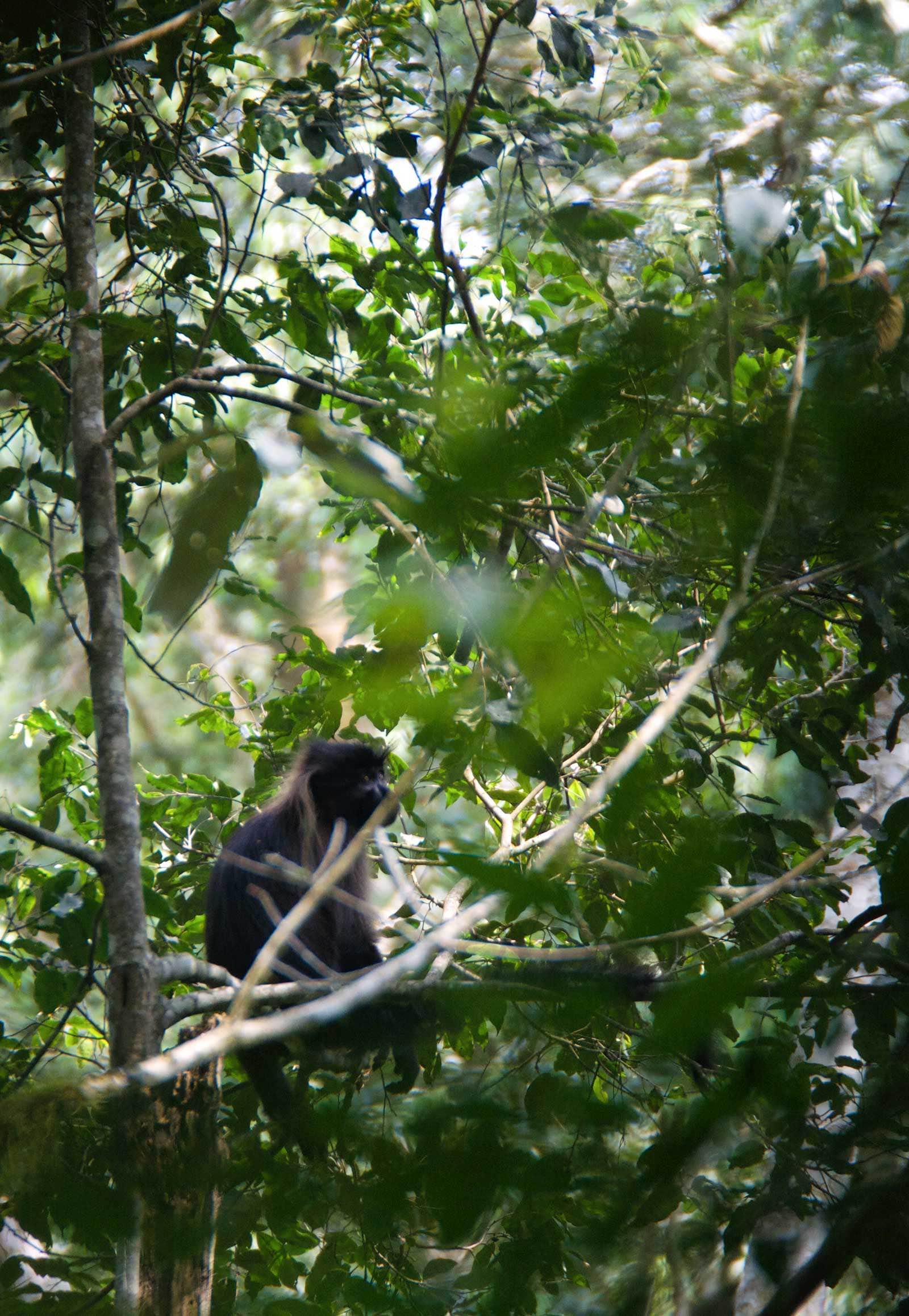 A grey-cheeked mangabey spotted in Kibale Forest, sharing the environment with chimpanzees