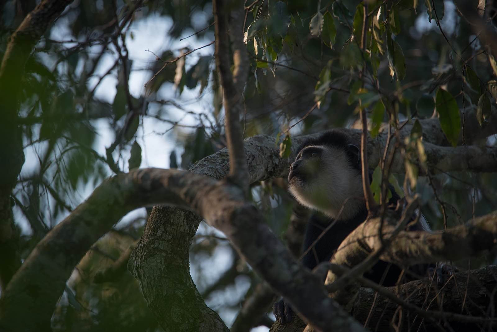 Black and white colobus monkey in Queen Elizabeth National Park